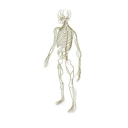 Мужская нервная система всего тела