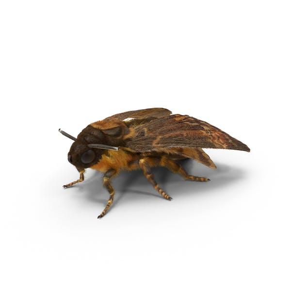 Acherontia Atropos Motte