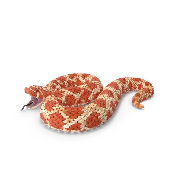 Rote Hognose Schlange Attack Pose