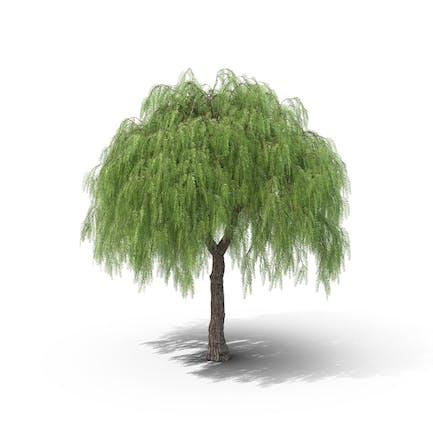 Amerikanischer Pfefferbaum
