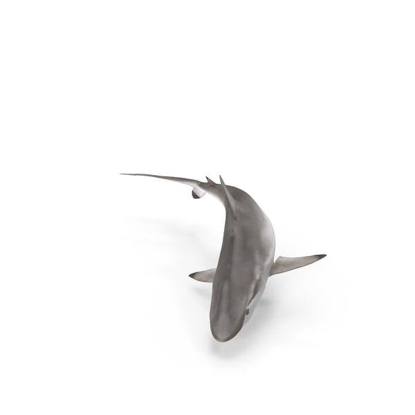 Thumbnail for Spot-tail Shark