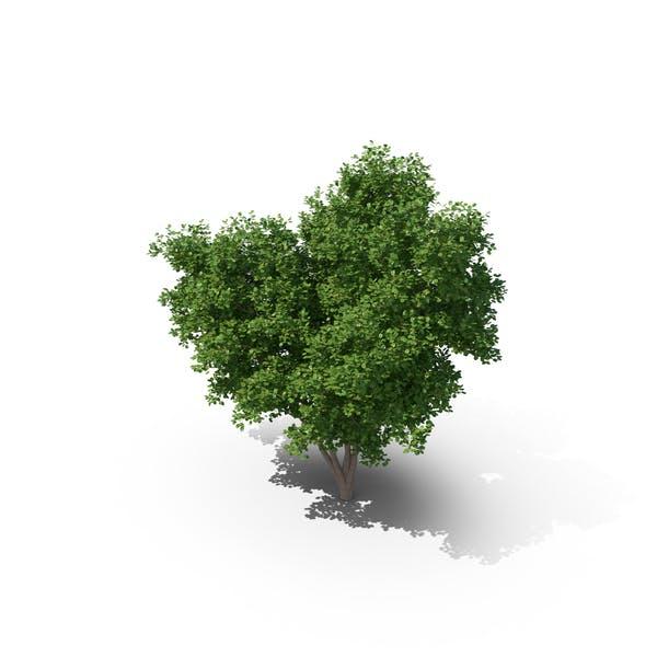 Thumbnail for Elm Tree