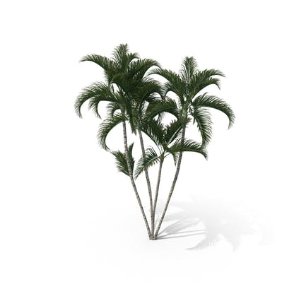 Palm Tree Dypsis Lutescens
