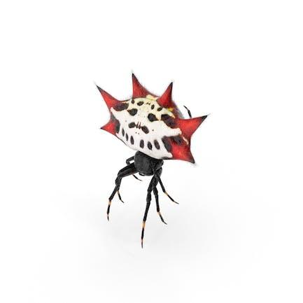 Spiny Orb Weaver Spinne