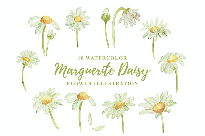 Thumbnail for 10 Watercolor Marguerite Daisy Flower Illustration