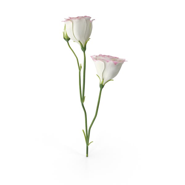 Thumbnail for Eustoma White Pink