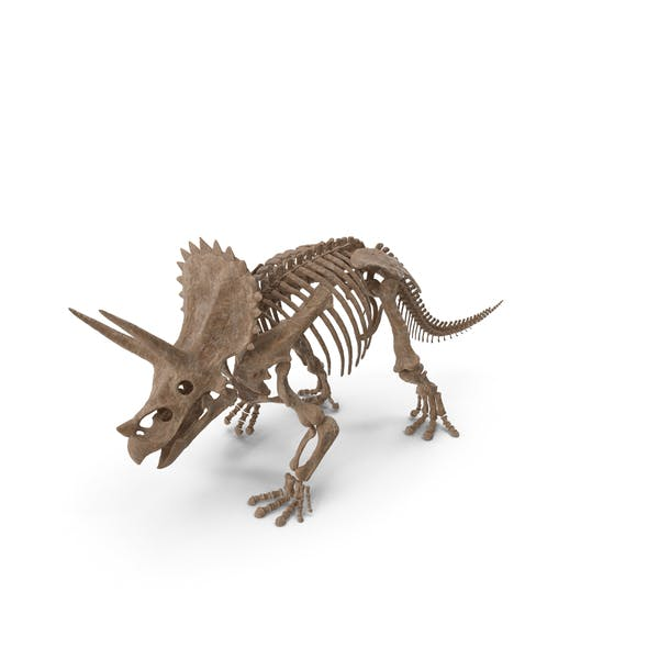 Triceratops Fossil Walking Pose