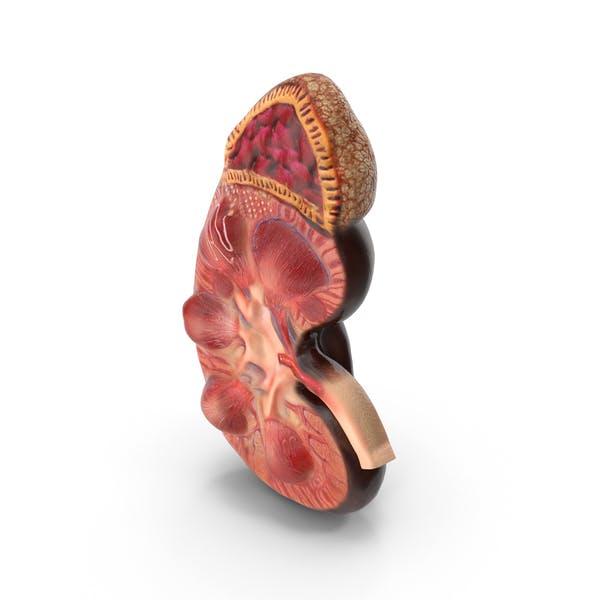 Анатомия почек