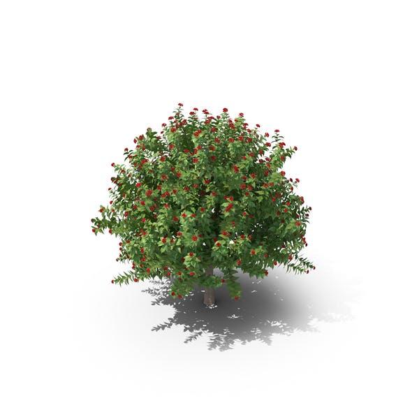 Cover Image for Jatropha Tree