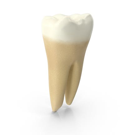 Human Tooth Lower First Molar