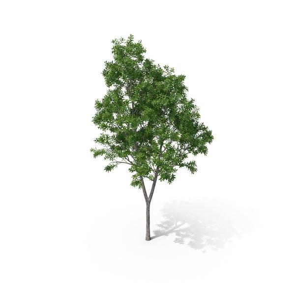 Pelawan Tree