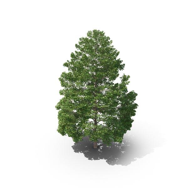 Cover Image for Hopea Odorata Tree