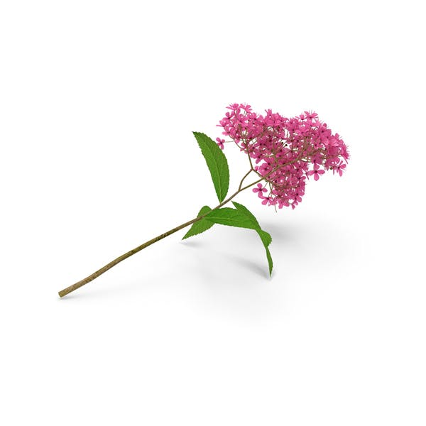 Thumbnail for Blooming Spiraea Japonica Anthony Waterer Branch