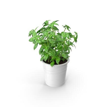 Kitchen Herb Basil