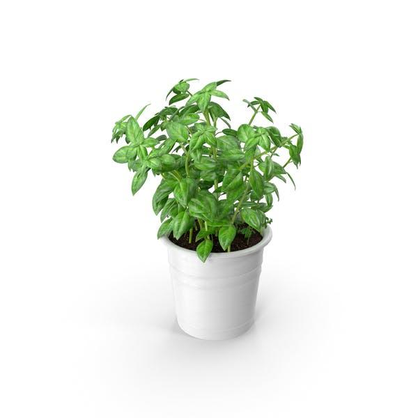 Küche Herb Basil