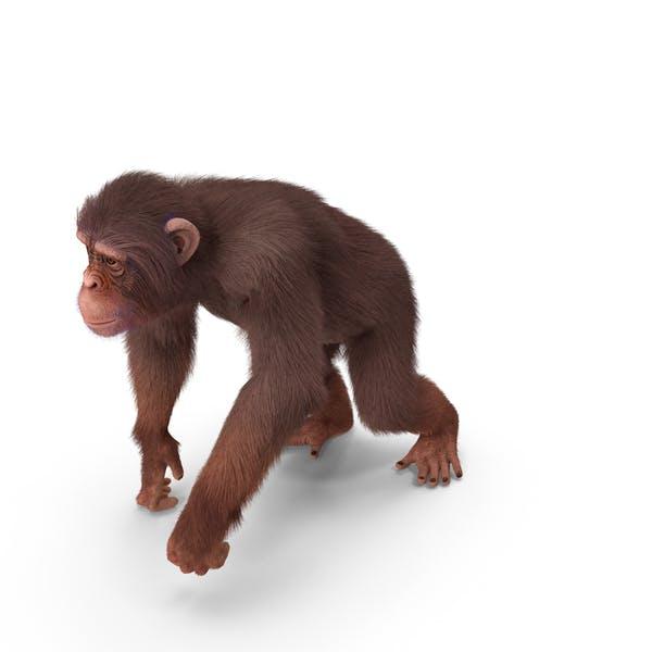 Light Chimpanzee Walking Pose Fur