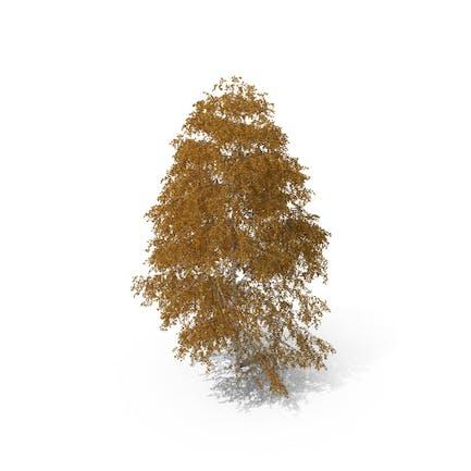 Birch Tree Autumn