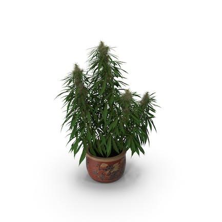 Cannabis Sativa Pflanze zu Hause