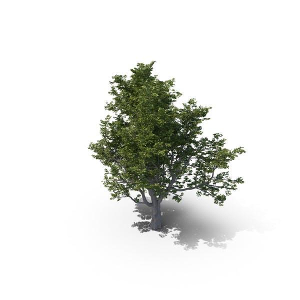Thumbnail for Ash Tree