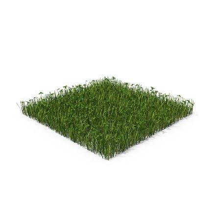Gras mit Klee