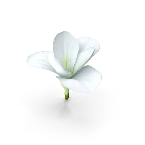 Freesien-Blume