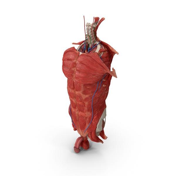 Мужской туловище Полная анатомия