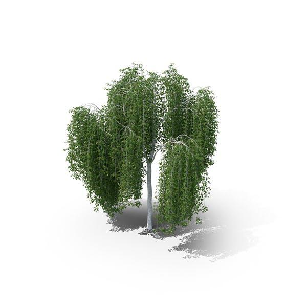 Weeping Birch Tree