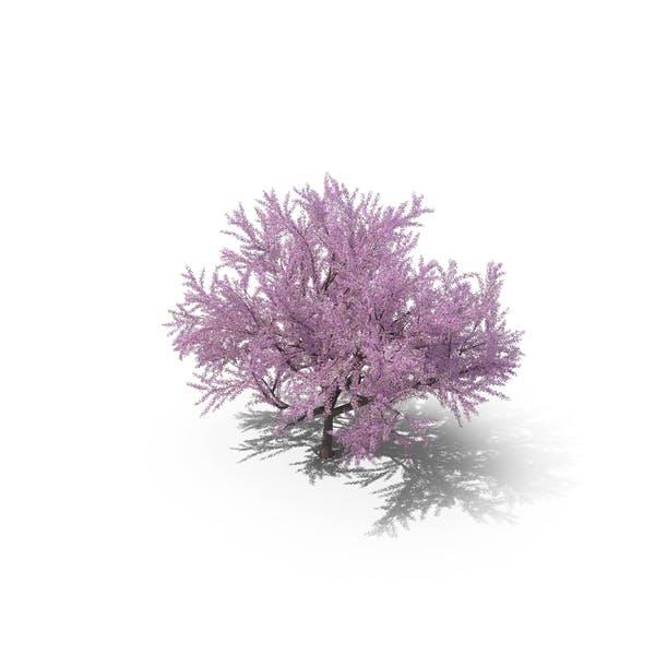 Sakura Lilac