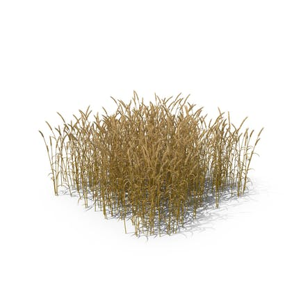 Common Wheat Field