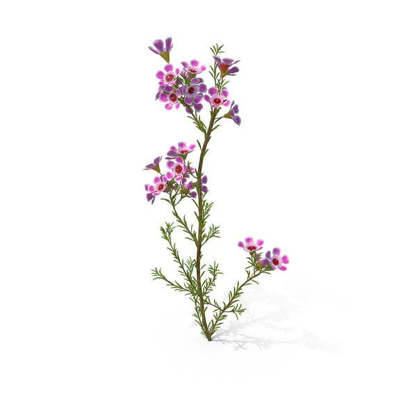 Thumbnail for Geraldton Waxflower