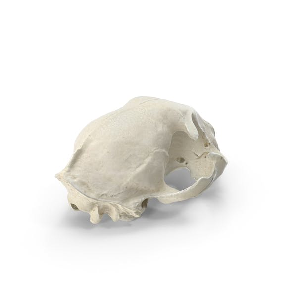 Thumbnail for Domestic Cat Skull