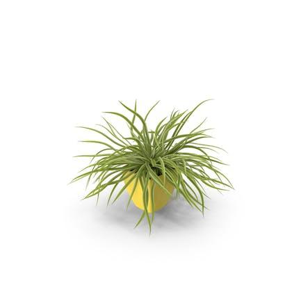 Topfpflanze Spinne