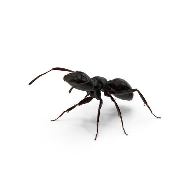 Cover Image for Black Ant