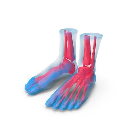 Anatomía del pie Azul