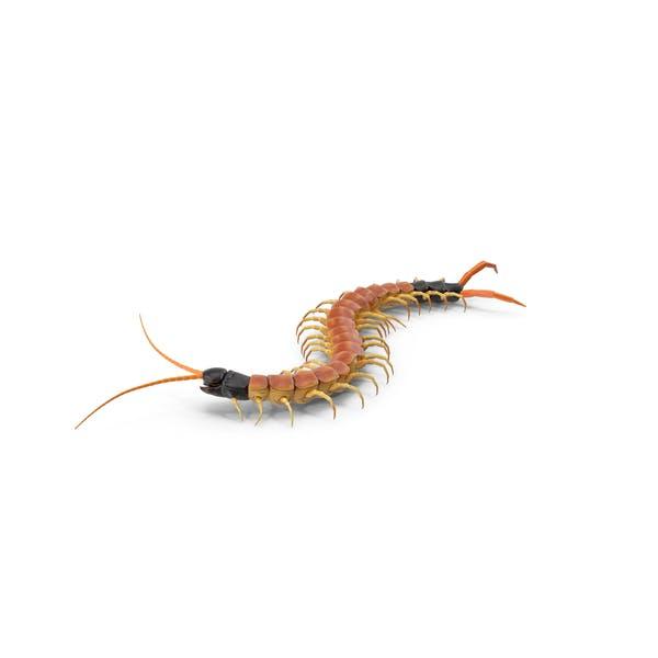Thumbnail for Scolopendra Heros Arizonensis Crawling