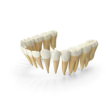 Mordetes de mandíbula inferior realistas