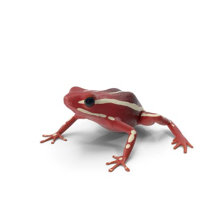 White Striped Dart Frog