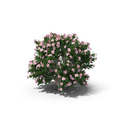 Kleiner roter Oleander