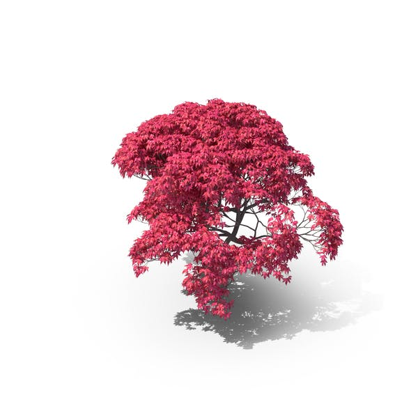Thumbnail for Japanese Maple Tree