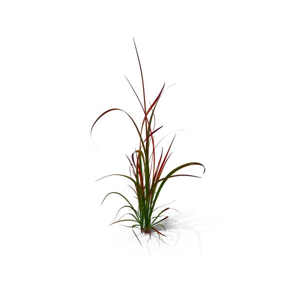 Thumbnail for Japanese Blood Grass