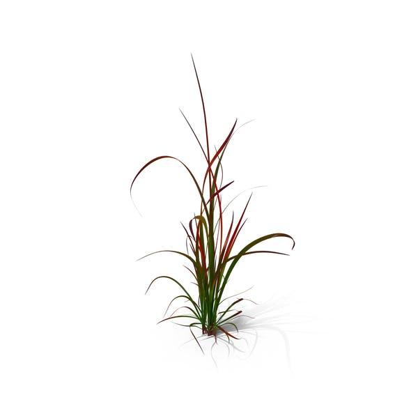 Japanese Blood Grass