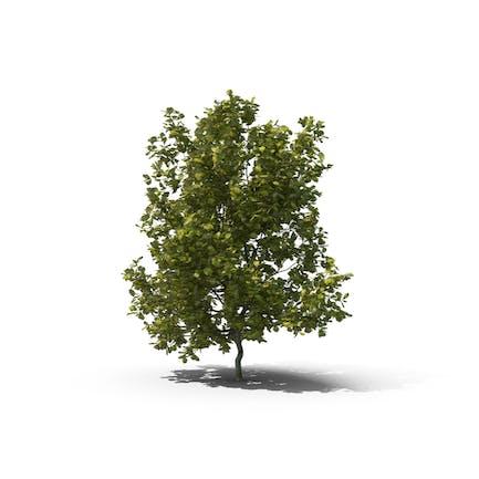 Englischer Eichenbaum