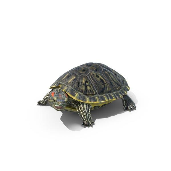 Cover Image for Pond Slider Turtle