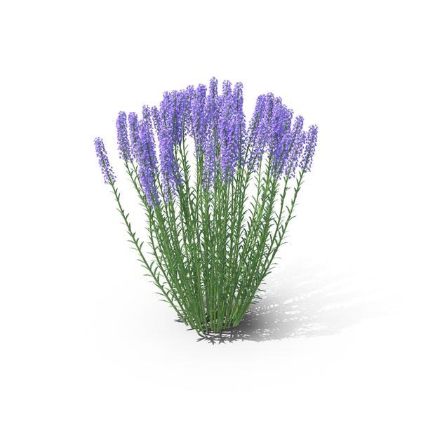 Thumbnail for Lavender
