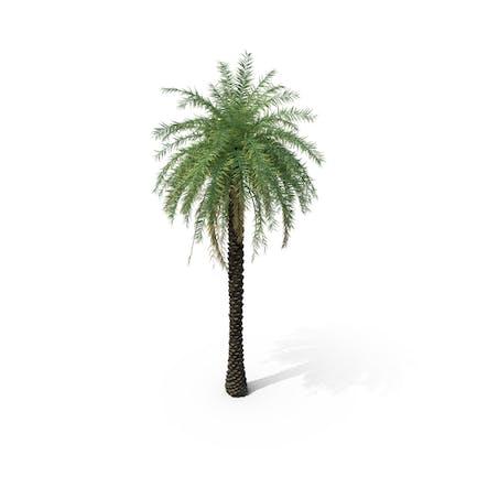 Palm Tree Phoenix Sylvestris