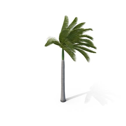 Royal Palm with Strong Wind