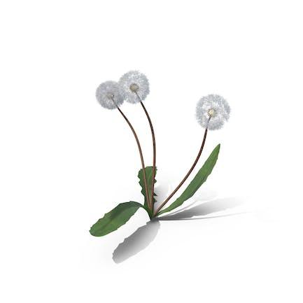 Taraxacum Officinale Seeding