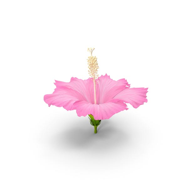 Thumbnail for Hibiscus Flower Pink