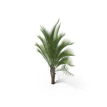 Palm Tree Dypsis Decaryi