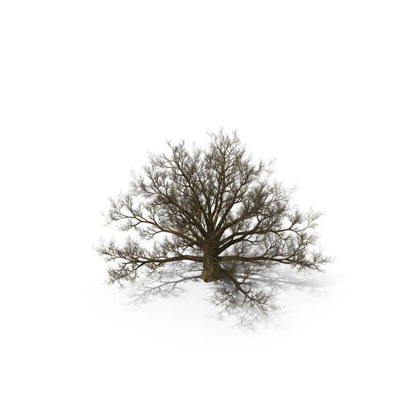 Old White Oak Tree